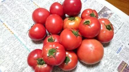 地主さんのトマト.JPG